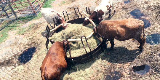 Longhorn cattle grazing at the Fort Worth Stockyards